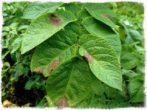 Проявление фитофтороза на картофеле