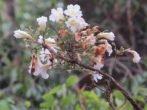 Radermachera xylocarpa