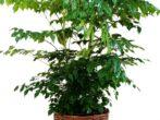 Радермахера: все нюансы ухода за растением в домашних условиях