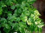 Radermachera chinensis