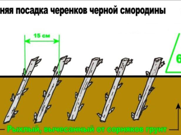 Схема посадки черенков чёрной смородины