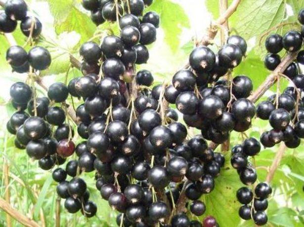 Урожай чёрной смородины Экзотика