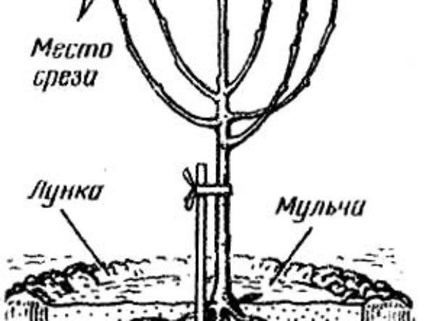 Схема обрезки саженца после посадки