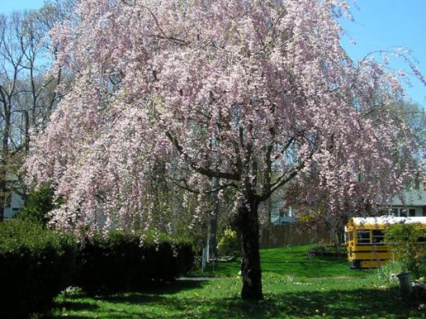 Дерево вишни сорта Харитоновская