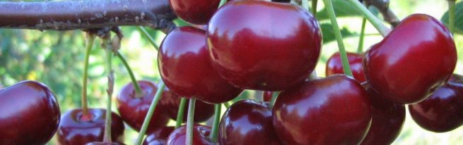 Вишня Жуковская: восхитительно вкусные ягоды