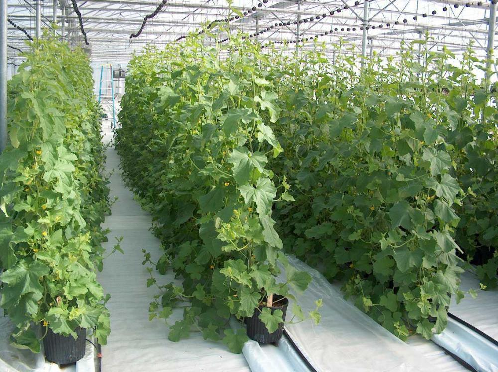 Выращивание огурцов на шпалер 600