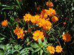 Махровая космея с оранжевыми цветками