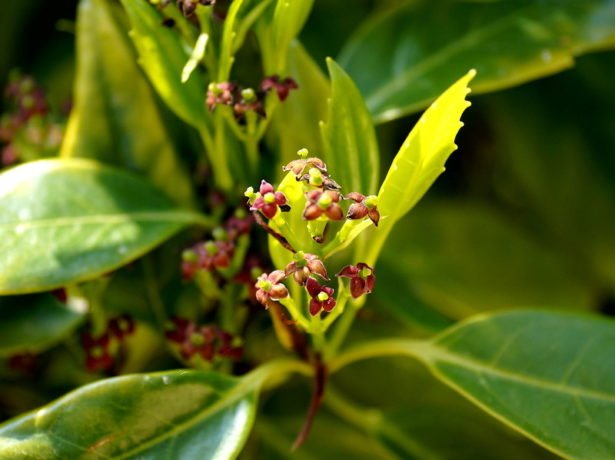 Цветки аукубы