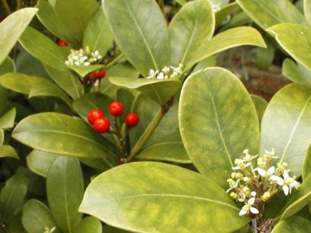 Цветки и плоды аукубы