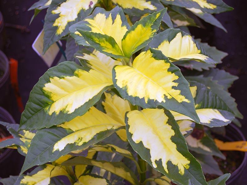 Аукуба цветок уход в домашних условиях