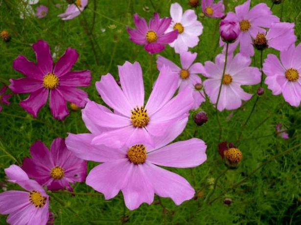 Цветки космеи