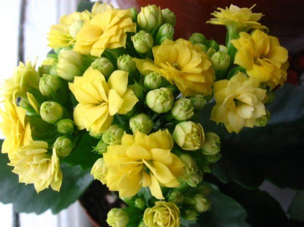 Цветущий каланхоэ каландива