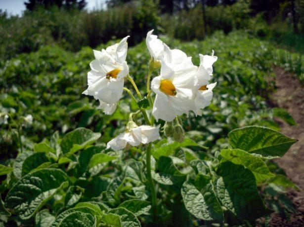 Цветки картофеля Удача
