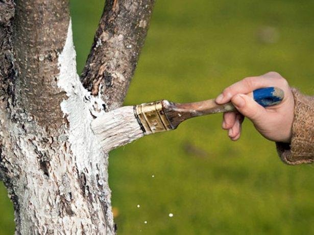 Дерево в побелке