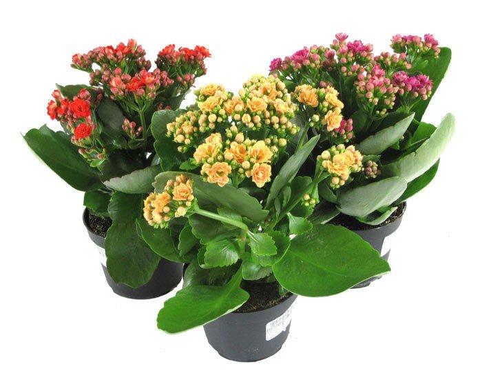 фото домашние цветы в горшках