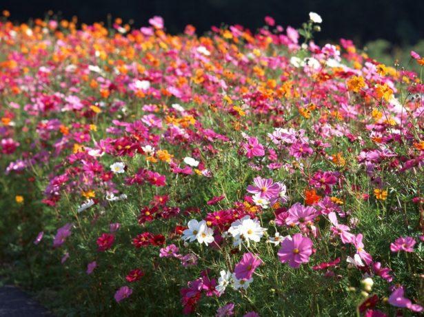 Обилие цветущих растений космеи