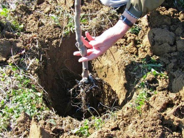 Посадка саженца вишни в яму