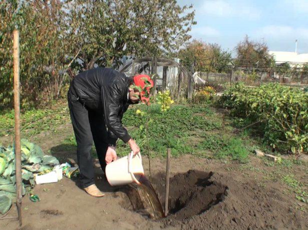 Садовник сажает сливу