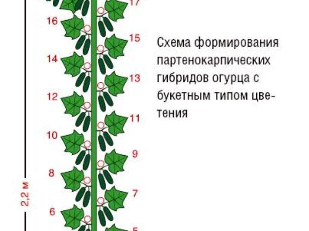 Схема формирования куста огурца с букетным типом цветения