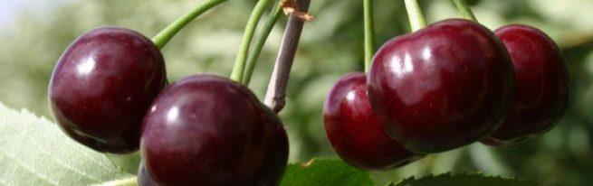 Вишня Владимирская: растим неприхотливый урожайный сорт