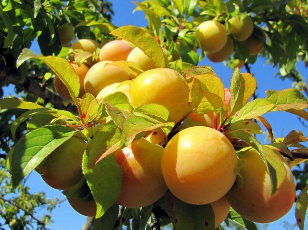 Ветви с плодами сливы Медовая белая