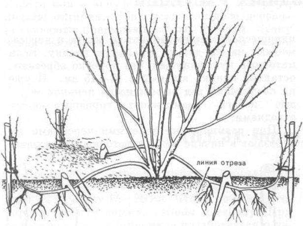 Размножение смородины отводками