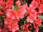 Азалия: выращиваем яркую красавицу в домашних условиях