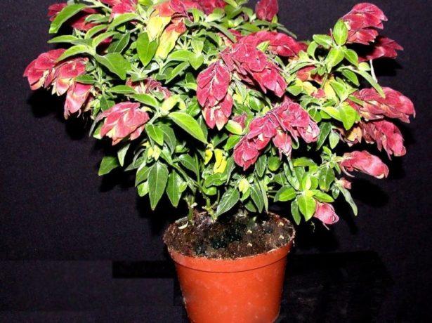 Белопероне цветок уход в домашних условиях