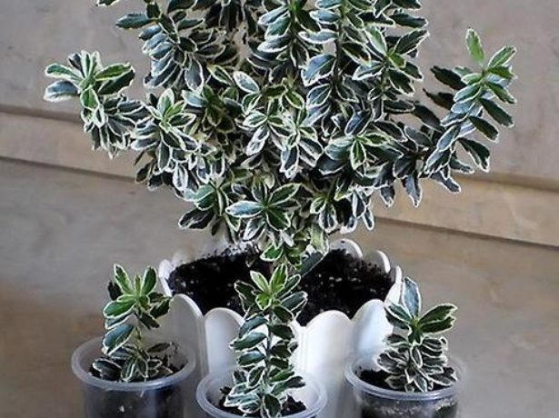 Бересклет: взрослое растение и черенки