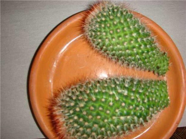 Черенки кактуса