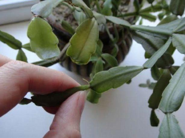 Черенок лесного кактуса