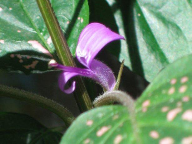 Цветок гипоэстеса