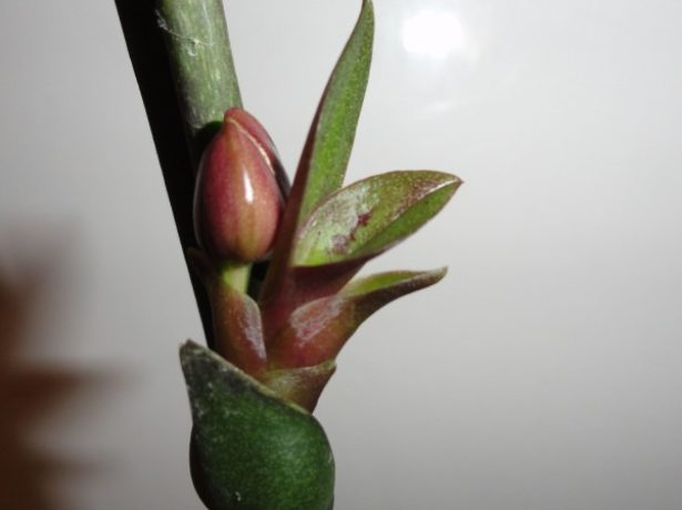Цветок и детка на одном цветоносе Фаленопсиса