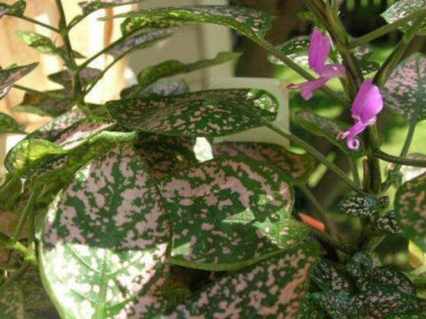 Цветущий гипоэстес