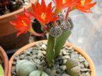 Цветущий привой на кактусе
