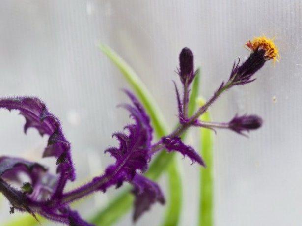 Цветок гинуры