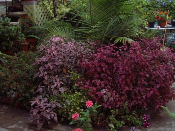 Гипоэстес и другие растения