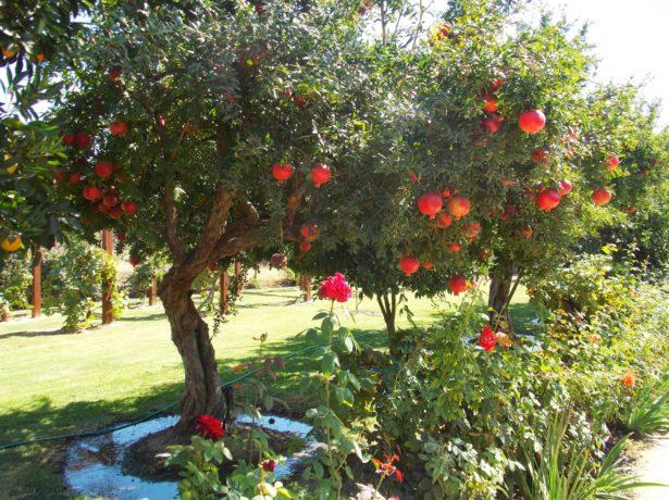 Гранатовое дерево в саду
