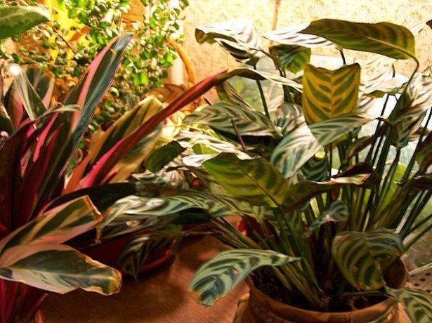 Ктенанты среди других растений