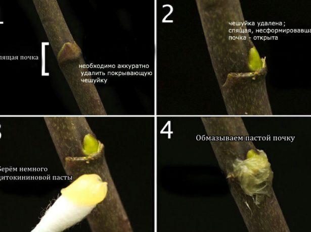 Как обработать почку орхидеи цитокининовой пастой