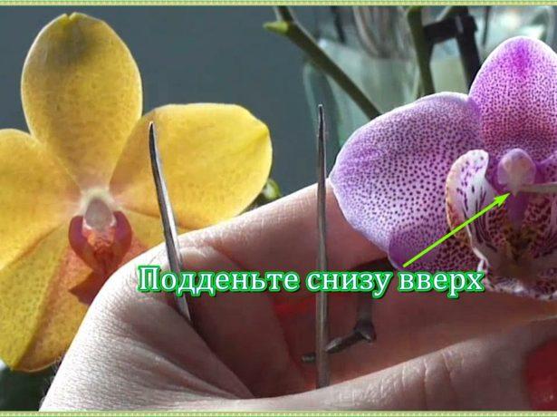 Как снять пыльник с цветка орхидеи