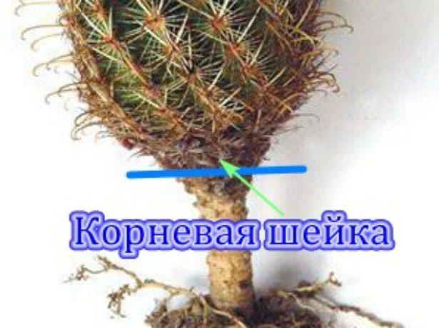 Корневая шейка кактуса