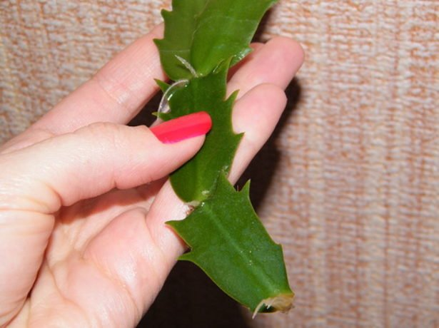 Корни на сегменте черенка лесного кактуса
