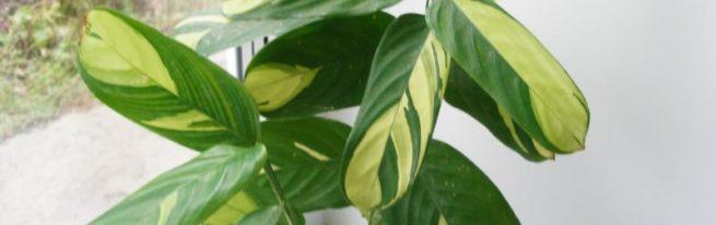 Ктенанта: как преуспеть, выращивая прекрасное, но требовательное растение