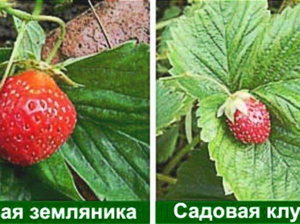 Различия земляники и клубники