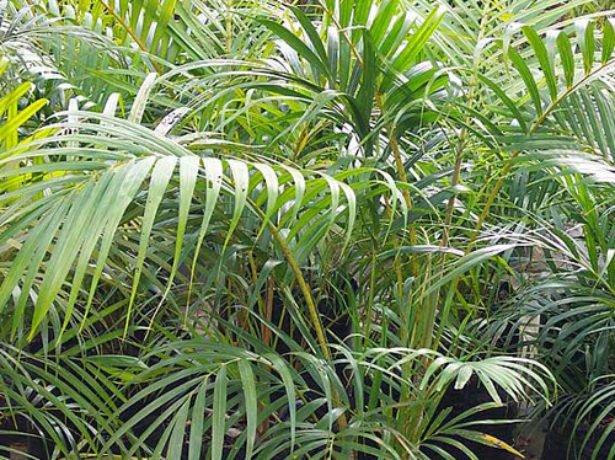 Листья ареки
