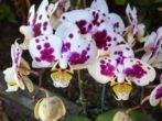 Многоцветный цветок Фаленопсиса