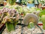 Необычные кактусы (привой), привитые на гилоцереус (подвой)
