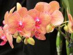 Персиковые цветки Фаленопсиса