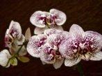 Пёстрый цветок Фаленопсиса